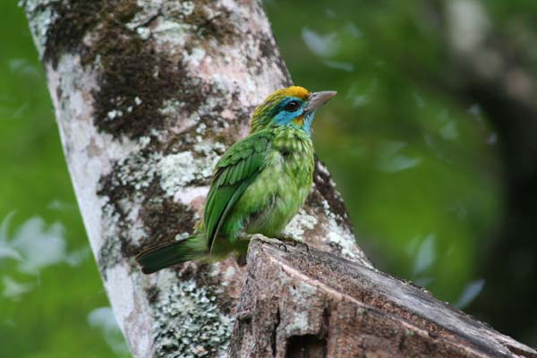 Imageresult for Yellow fronted Barbet at Udawatta Kele Sanctuary